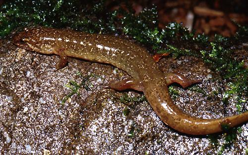 N American Salamander R. Glor Photos: Easter...